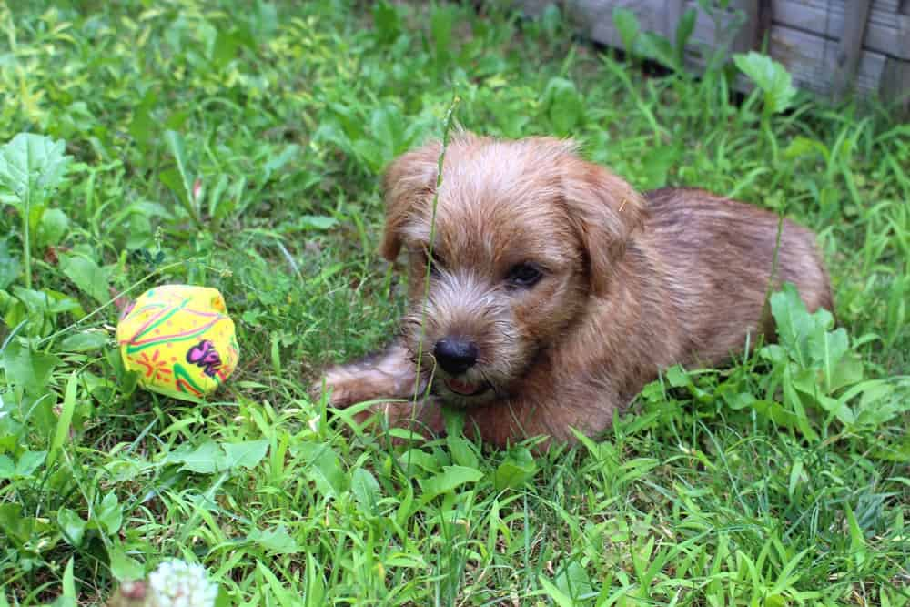 Norfolk Terrier Jamie